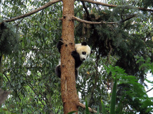 A giant panda climbs a tree in the Bifen