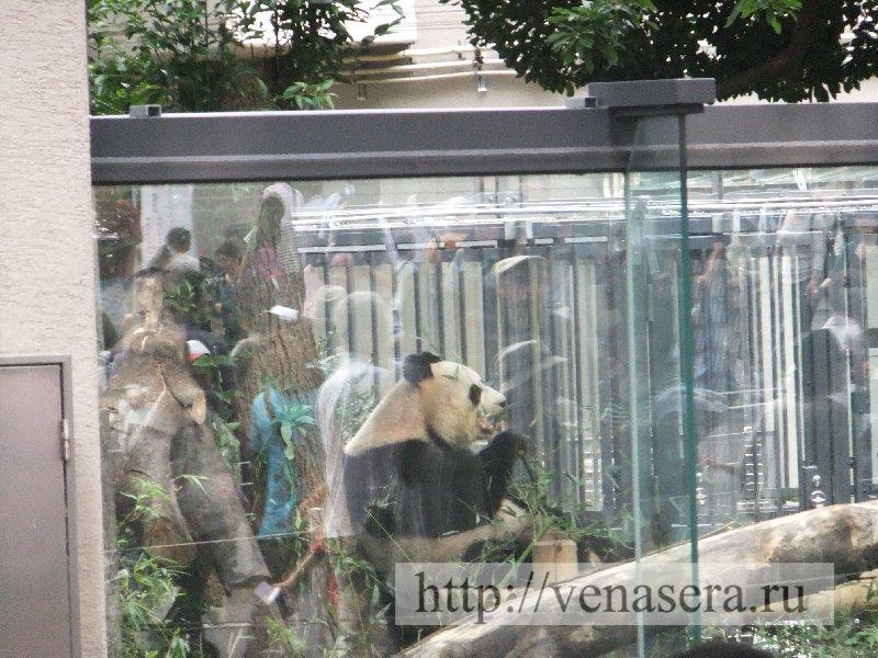 Панда в зоопарке Уэно