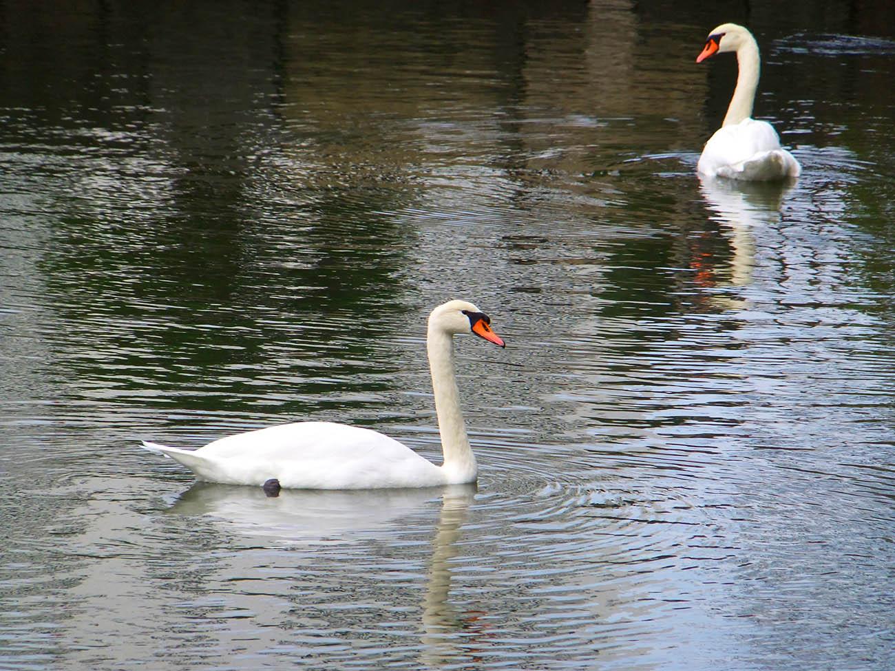 Лебеди в Токио